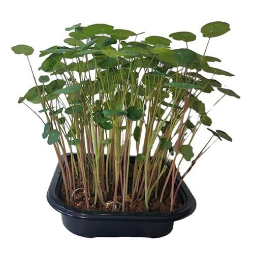 UGF Farms Microgreens Starter Kit - Soil-Less Organic Plant Seeds, Pea Shoots, 200 g