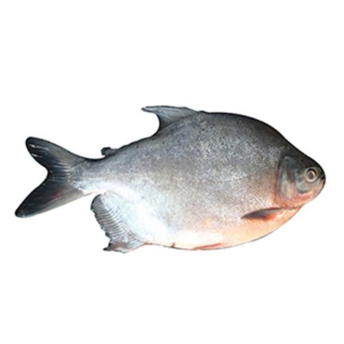 Buy me fresh fish roop chand 500 gm online at best price for Fresh fish online