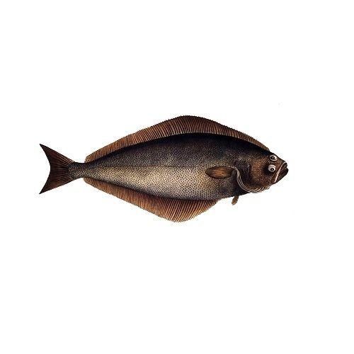Fish & Chicken  Shopee Fish - Hallibut (Nakku Meen), 1 kg Fry Cut Cleaned
