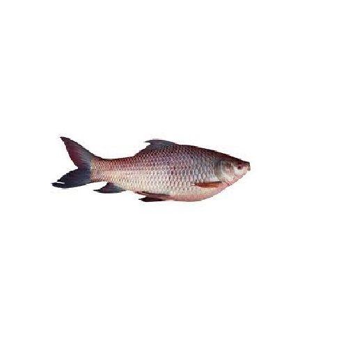 Jk Fish Fish - Rohu Fish - Kendai - 500g, 500 g Fry Cut Cleaned