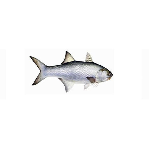 SAK Proteins Fish - Indian Salmon / Kaala, 1 kg Fry cut
