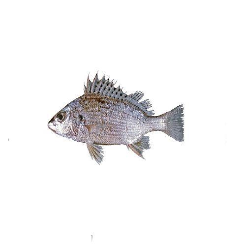 SAK Proteins Fish - Silver Brunt / Koduva, 1 kg Curry cut