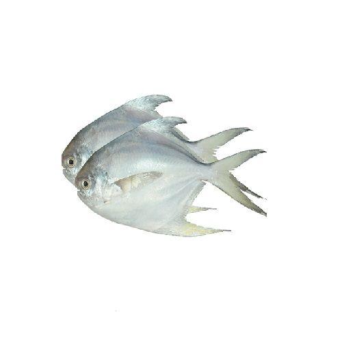 SAK Proteins Fish - White Pomfret, Big, 1 kg Curry cut