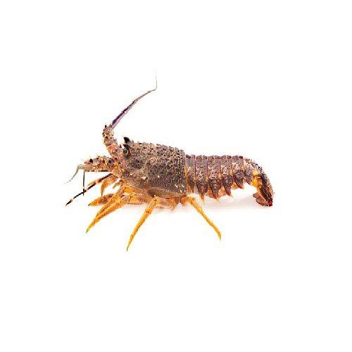 SAK Proteins Rock Lobster, Medium, 200-300 g