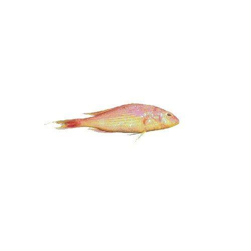 Gala seafood Fish - Sankara / Pink Perch, Big, 750 g