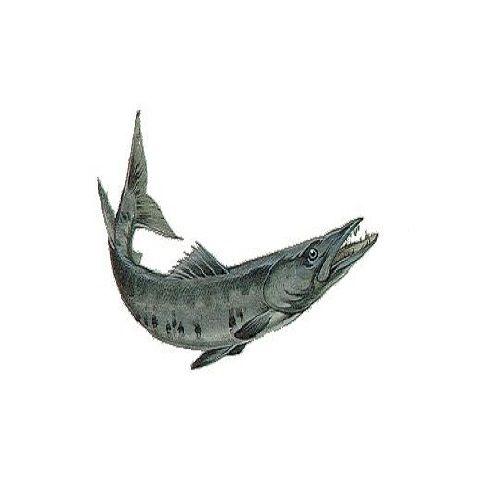 SAK Proteins Fish - Barracuda (Sheela) Big, 1 kg