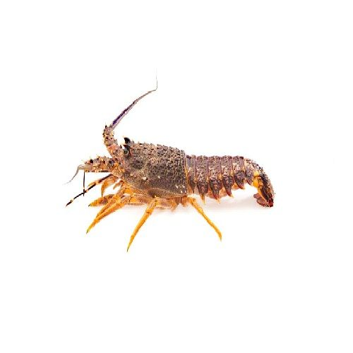 SAK Proteins Rock Lobster Big, 500 g