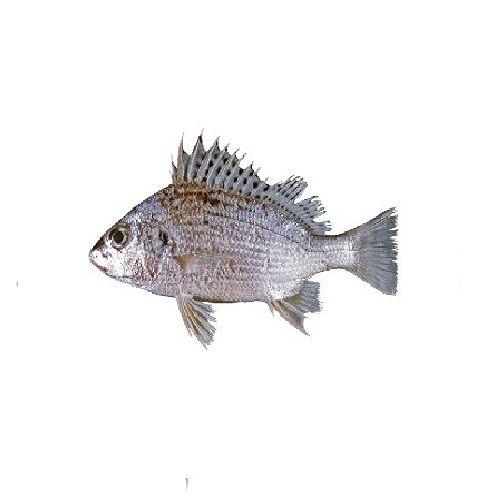 New Fish n Fresh Fish - Silver Brunt / Koduva, 1 kg