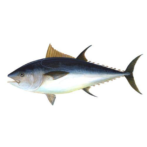 Crazy Fish Fish - Soorai / Tuna Slices, 1 kg Gravy Cut Cleaned