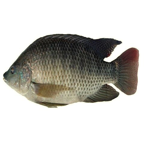 Fresh Catch Fish - Tilapia Live Fresh Catch, 500 g