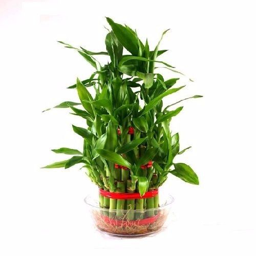 BLOOMS AND BOUQUETS Lucky Bamboo 3 Layered, 1 pc
