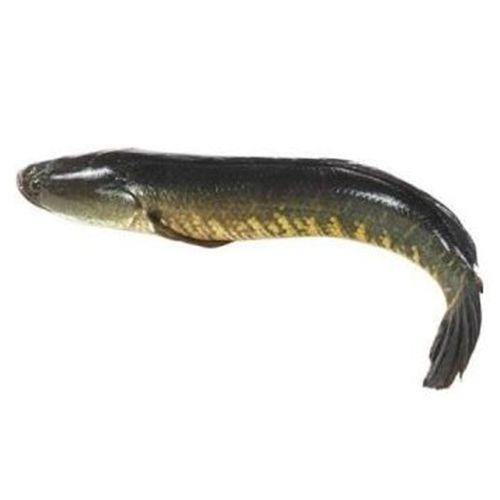 Gangaputra fisheries Fresh Fish - Murrel, 1 kg
