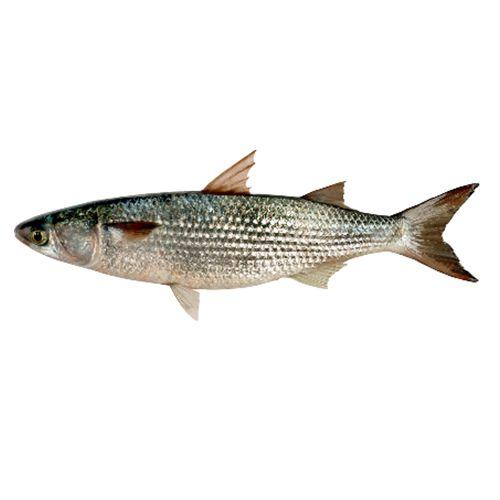 Gangaputra fisheries Fish - Mullet, Big, 1 kg