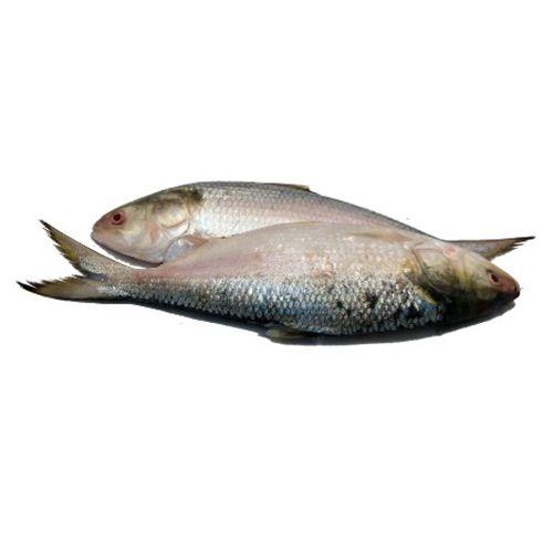 Gangaputra fisheries Fish - Hilsa, 1 kg